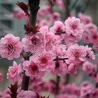 梅花苗梅花树梅花基地_红叶美人梅介绍