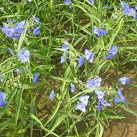 紫露草价格,紫露草厂家,紫露草批发