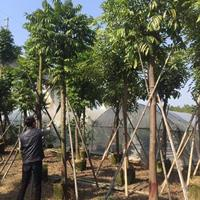 福建精品仁面子 自产自销优良树种