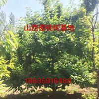 米径3-4公分地径4-5公分樱桃树裸根价格45元一棵