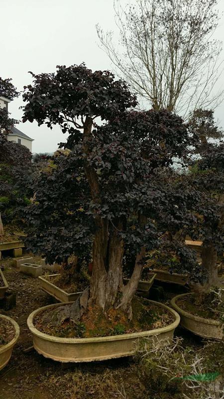造型红花继木盆景05