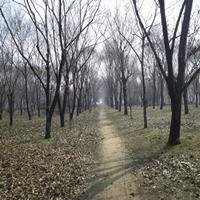大量批發優質板栗樹 質優價廉 現貨直銷