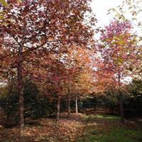 长期供应优质北美枫香树 树形优美 品种齐全