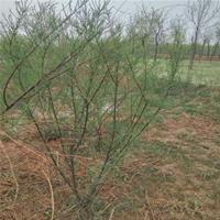 批发绿化植物柽柳 量大质优