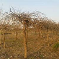 基地直销优质垂槐树苗 规格齐全 大量出售