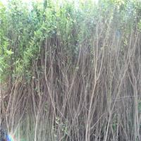 丛生花石榴小苗工程绿化苗木批发 质优价低
