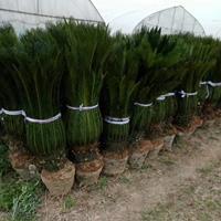 供應蘇鐵 鐵樹