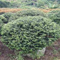 龜甲冬青球 造型好 觀賞價值高 易栽植