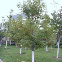 楓香樹的苗期管理