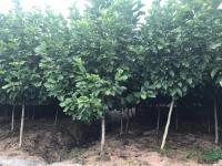 供应地径5公分的精品红玉兰2千棵,4公分的2万棵