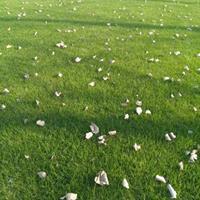 高档草坪四季可以种植。一平方价格马尼拉,混播。高羊茅,四季青