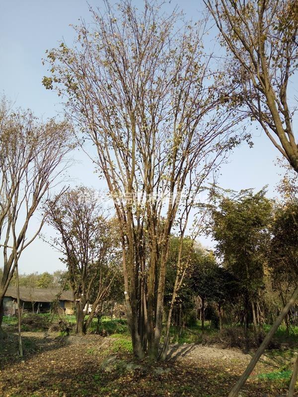 郫县熟货茶条槭 丛生茶条槭 独干茶条槭