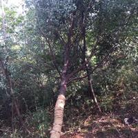 皂角树价格皂角供应楝树价格潢川花木大树价格表2018年