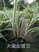 2017年福建山菅兰2*新报价