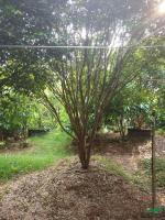 大小规格树葡萄,嘉宝果基地