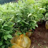 40公分金叶榆产地西北工程苗供应50公分金叶榆苗