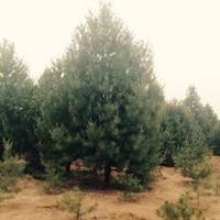 2.5米白皮松产地1米3米4.5米5米高度白皮松大量供应