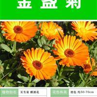 金盏菊种子 种子多 价格低包成活率 种植技术上门指导