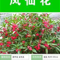 鳳仙花種子  種子多 價格低 包成活率 種植技術上門指導