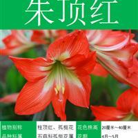 朱顶红种子 种子多 价格低 包成活率 种植技术上门指导