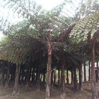 四川乐山供应董棕杆高2.5~3米