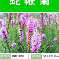 蛇鞭菊种子 种子多 价格低 种植技术上门指导