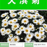 大滨菊种子 出售 批发  价格低 包成活率 种植技术上门指导
