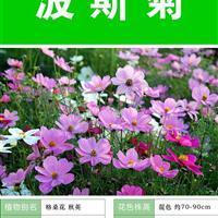 波斯菊种子   种子多 价格低 包成活率 种植技术上门指导