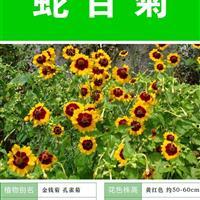 蛇目菊种子 种子多 价格低 包成活率 种植技术上门指导
