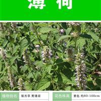 薄荷种子 种子多 价格低 包成活率种植技术上门指导