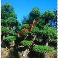 湖南香樟基地直供20、25、30、35、40、45、50公分