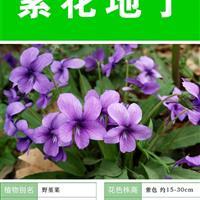 紫花地丁种子 种子多 价格低 包成活率 种植技术上门指导