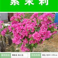 紫茉莉种子 种子多 价格低 包成活率 种植技术上门指导