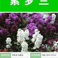 紫罗兰种子 种子多 价格低 包成活率 种植技术上门指导