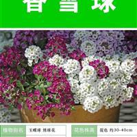 香雪球种子 种子多 价格低包成活率 种植技术上门指导
