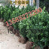 低价急售H30-40-50公分大叶黄杨绿篱苗价格优惠
