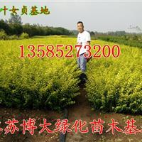 主供金叶女贞色块苗价格优惠,H40-50公分金叶女贞苗价格