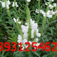 随意草 芝麻花、假龙头、囊萼花、棉铃花、虎尾花