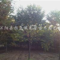 5-15公分一*櫸樹