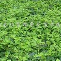 彩叶长春藤、常春藤、常青藤、藤本花卉