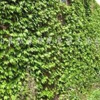 供应爬山虎、三叶地锦、紫藤