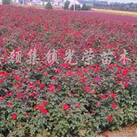 紅帽子月季、豐花月季、大花月季、歐洲月季