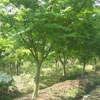 江苏鸡爪槭、鸡爪槭苗