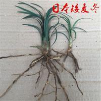 日本矮麦冬、日本矮麦冬草