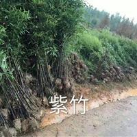 紫竹、淡竹、箬竹、刚竹