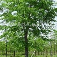 批發1-60公分銀杏、銀杏樹、銀杏樹苗