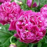 三色堇、一串红、吊兰、瓜叶菊、芦荟、牡丹