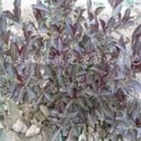 紫叶锦带、四季锦带