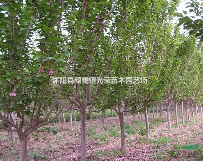 江苏地区供应4-10公分樱花