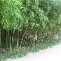 供应金镶玉竹、紫竹、早园竹、刚竹、淡竹、小毛竹